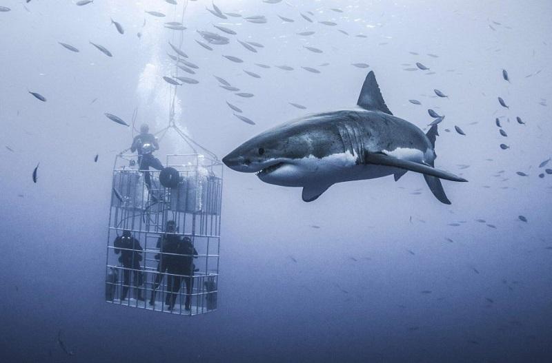 Огромная белая акула попыталась проломить стальную клетку дайверов. Защита никогда не была такой безнадежной