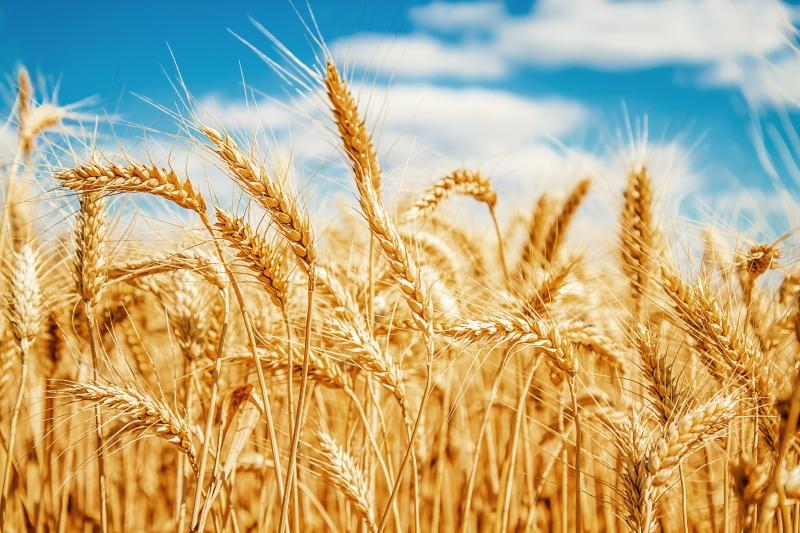Почему будет не лишним отказаться от пшеницы