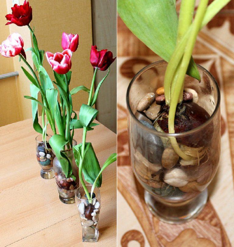 """Вот как вырастить тюльпаны дома на подоконнике, даже не имея """"в запасах"""" грунта"""