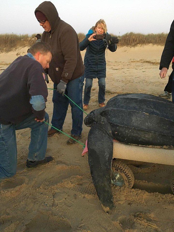Из 200 выловленных особей удалось спасти лишь 54 Кейп Код, гибель, животные, сша, холод, черепаха