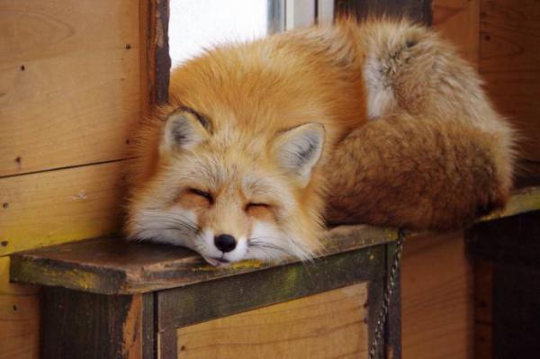 В Астрахани лиса пришла в магазин за продуктами