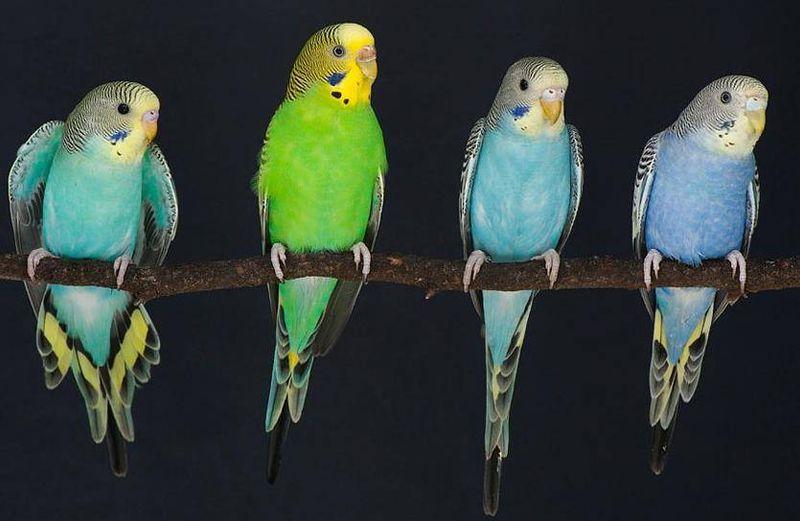Самки волнистых попугайчиков предпочли умных самцов