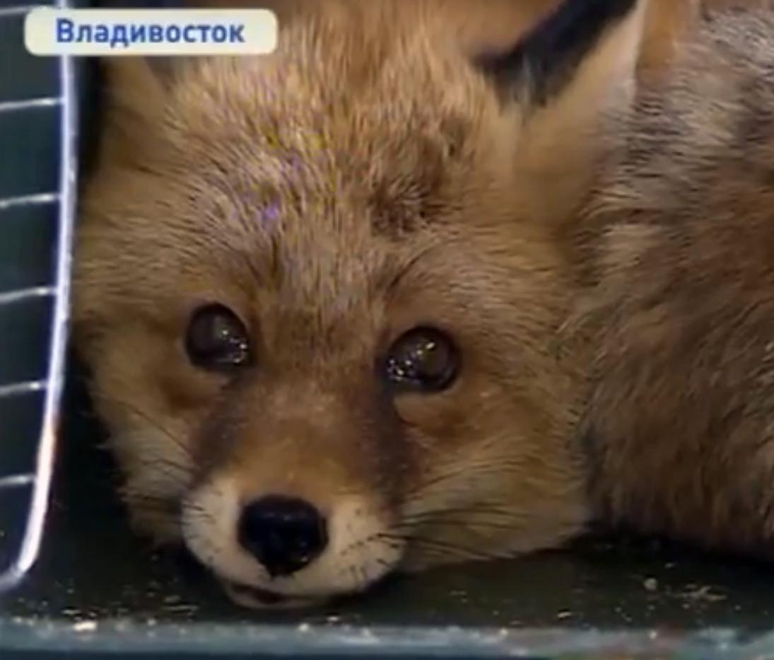 Лисицу выручили из беды и выпустили на волю на Русском острове