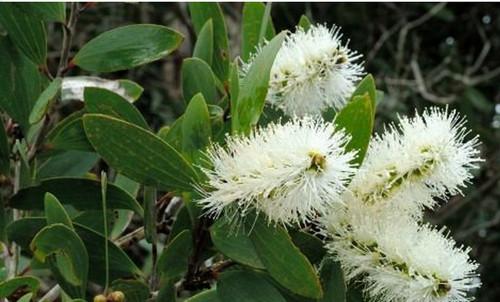 Ароматерапия. Масло каяпутового дерева — природный антибиотик