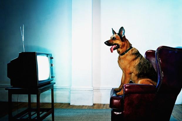 Что видят собаки и кошки, когда смотрят телевизор