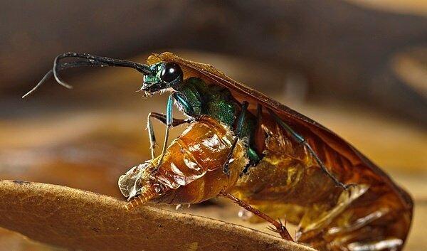 4. Изумрудная тараканья оса делает из тараканов живых мертвецов, а потом откладывает в них яйца Скарабей, жуки, крылья, муха, насекомые, стрекоза, факты