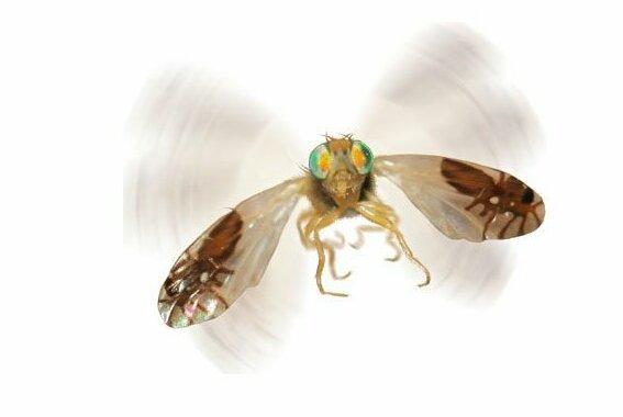 6. Мушка Goniurellia tridens отпугивает врагов нарисованными на крыльях муравьями Скарабей, жуки, крылья, муха, насекомые, стрекоза, факты