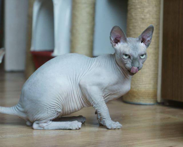 сфинкс египетский кошка фото