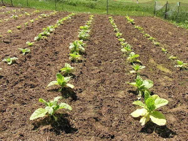 Посадите табачок: вредители сбегут наутек