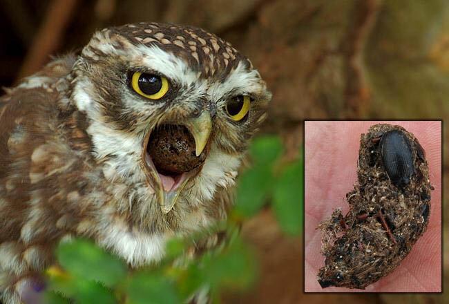 Почему хищные птицы ходят в туалет через рот? животные,интересные факты,наука,познавательно,птицы