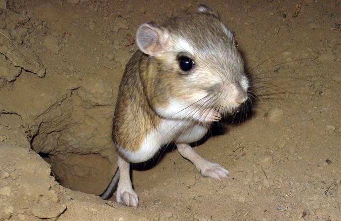 Тушканчик — кенгуру в миниатюре