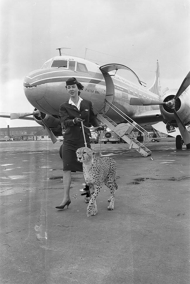 7. Стюардесса выгуливает гепарда в аэропорту Амстердама, 1961 год винтаж, интересно, исторические кадры, исторические фото, история, ретро фото, старые фото, фото