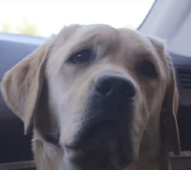 Собака не смогла стать помощником для больных людей, но, к счастью, не осталась бездомной истории из жизни