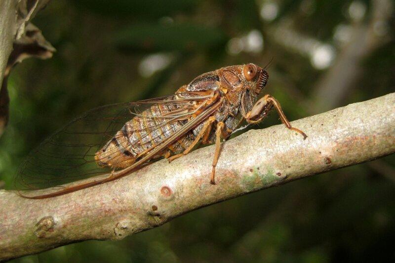 5. Крылья цикад являются природным антибиотиком Скарабей, жуки, крылья, муха, насекомые, стрекоза, факты
