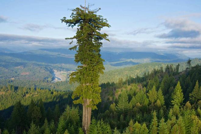 Самое высокое дерево в мире: 116 метров