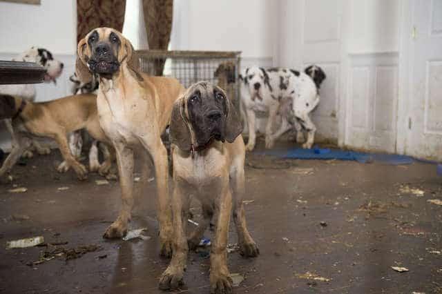 Внутри красивого особняка страдали 84 собаки! В этом доме не было даже воды