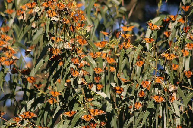 Миграция бабочки «Монарх»