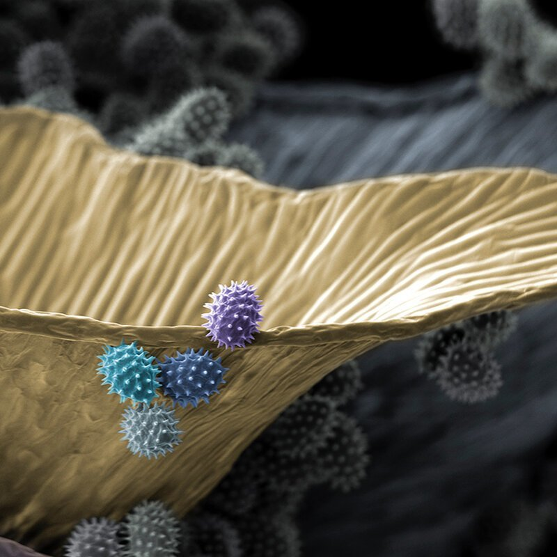 Пыльник и пыльца космеи жизнь, интересно, под микроскопом, познавательно, фотограф