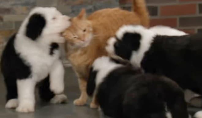 Щенки и рыжий кот