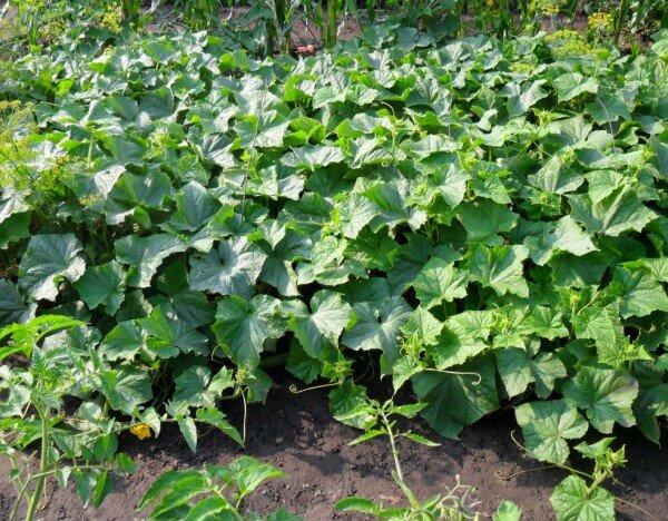Огурцы можно выращивать по-разному. 9 способов. Выбирайте!