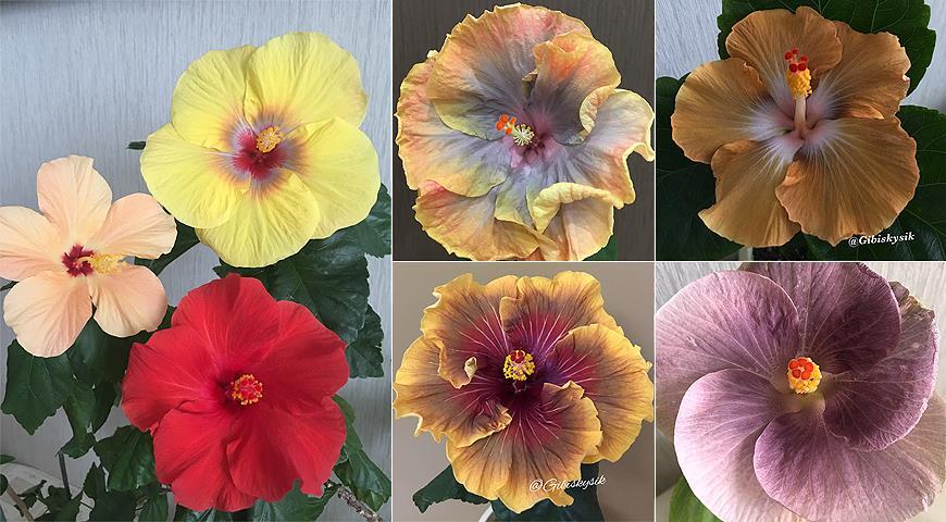 Гибискус: самые красивые сорта и все секреты выращивания от коллекционера Анны Капаниной комнатные растения,цветоводство