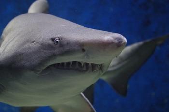 Исследователи описали новый вид древних акул