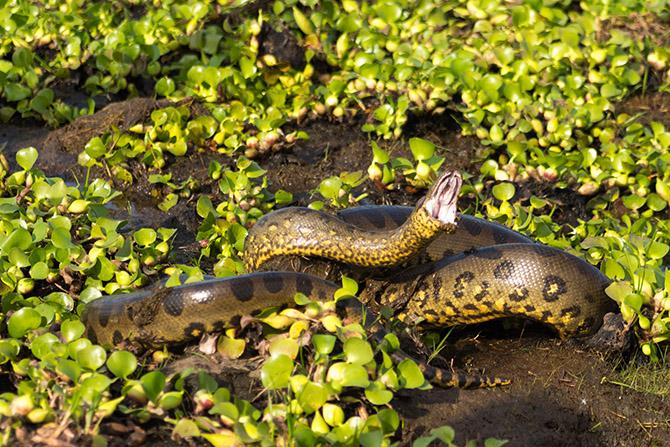 Рейтинг самых опасных существ Амазонии