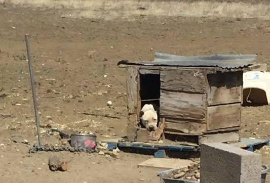 Эта печальная собака всю жизнь просидела на цепи
