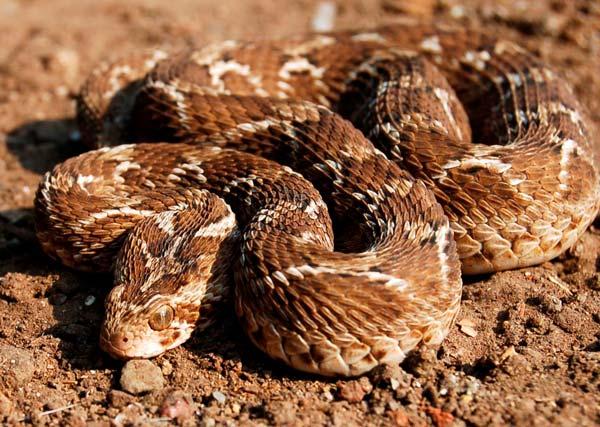 Самые опасные змеи в мире (Топ-10)