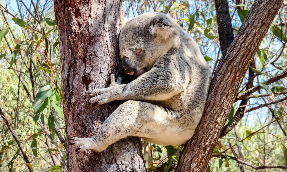 Коала на деревьях в Квинсленде, Австралия