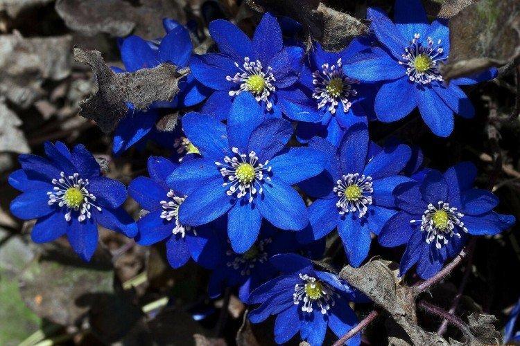 Весенние первоцветы: названия, фото и описания