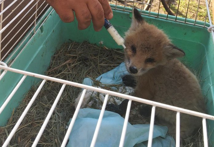 В приюте Челябинска появился трехнедельный лисенок