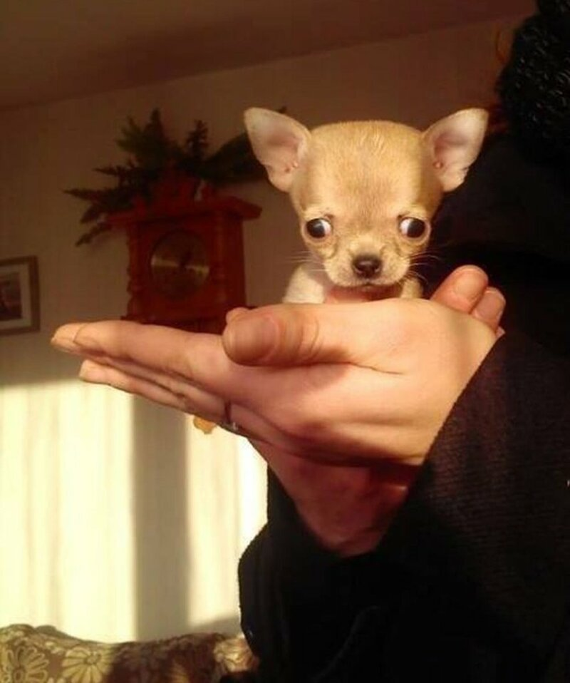 Туди — самая маленькая собака в мире? Зверьё, забавные, милота