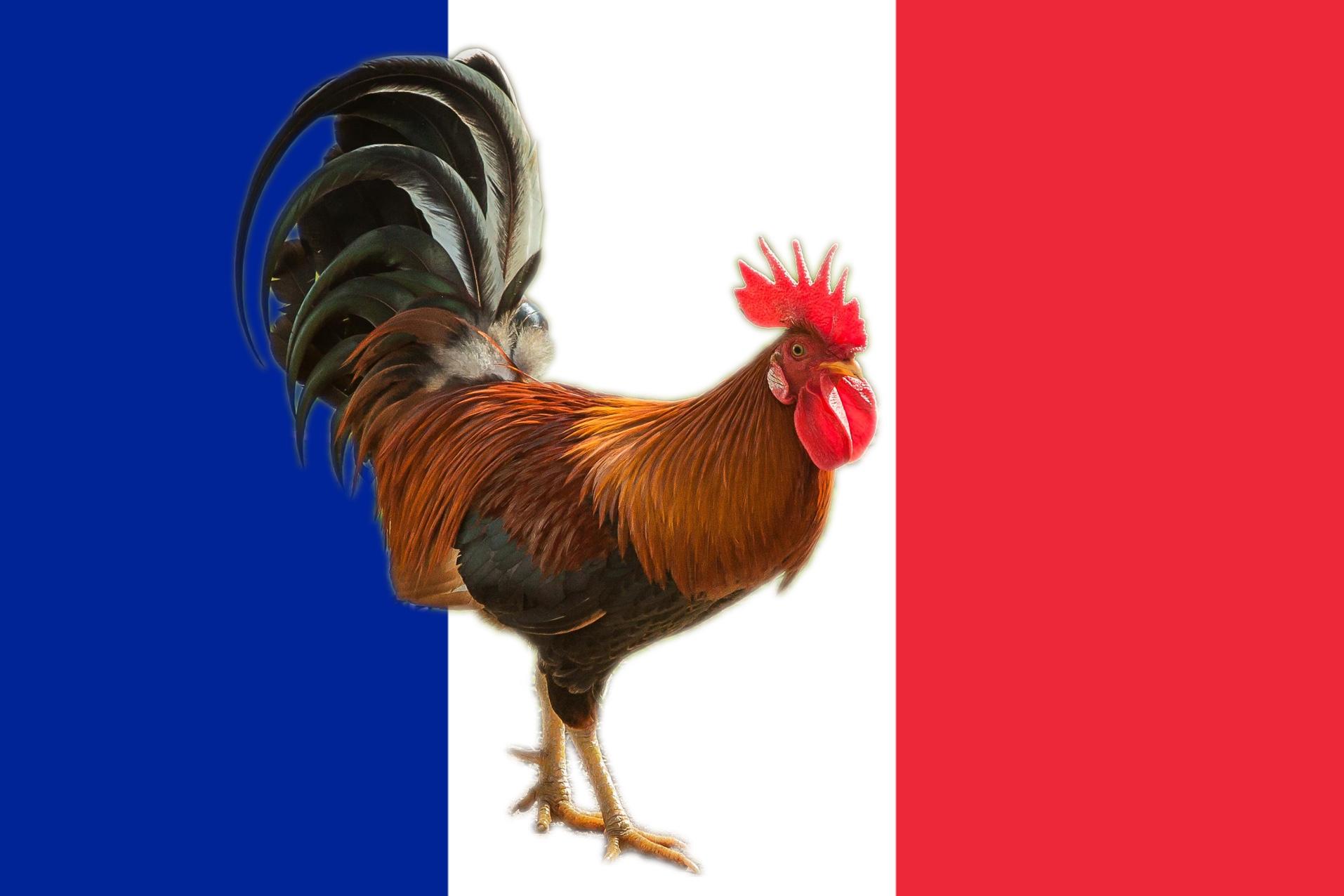 Петух франции картинки
