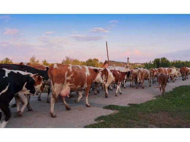 Почему в деревнях больше не держат коров, коз и поросят. Что рассказали местные жители