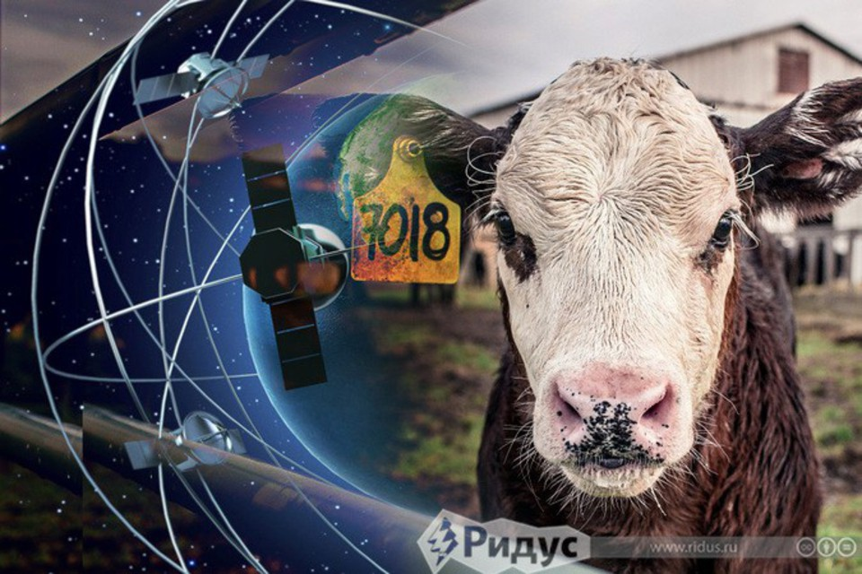 Дело о «корове со шпионским …