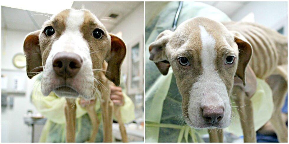 Волонтеры не могли понять откуда у этого щенка силы, чтобы ходить, ведь это был просто скелет и кожа