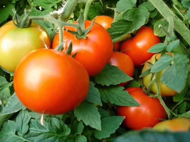 Йод для томатов: дешево и сердито