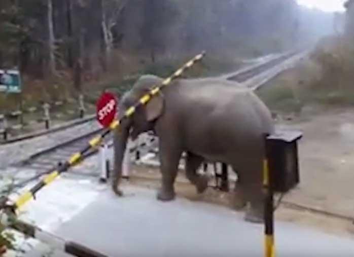 Сообразительный слон продемонстрировал мастерство преодоления шлагбаумов