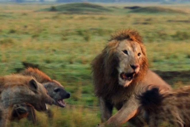 Cтая гиен хотела поживиться у царя зверей, но на помощь пришел прайд