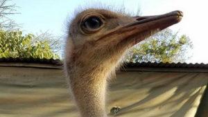 Трогательная история страуса…
