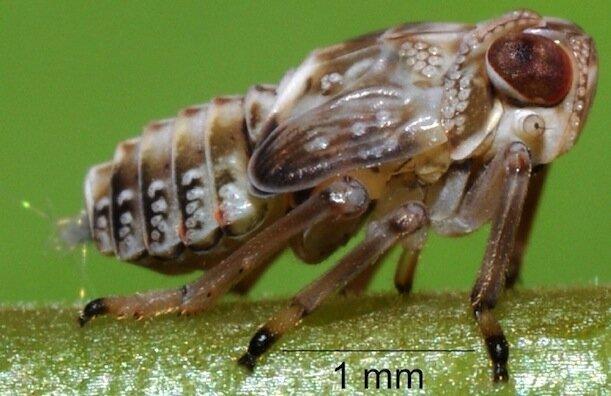 9. Букашка Issus coleoptratus имеет зубчатую передачу на лапках Скарабей, жуки, крылья, муха, насекомые, стрекоза, факты