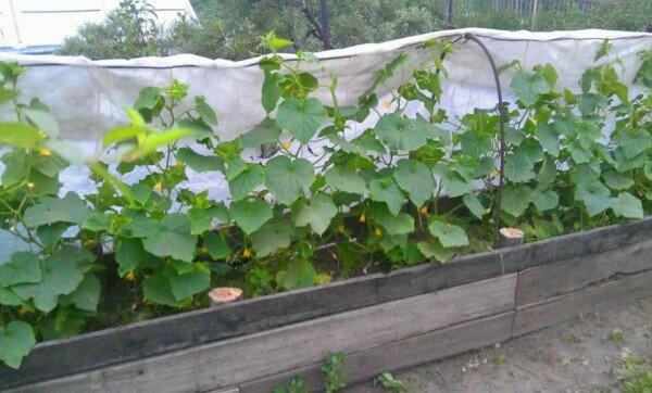 Огурцы можно выращивать по-разному. 9 способов. Выбирайте! дача,овощи,полезные советы,сад и огород