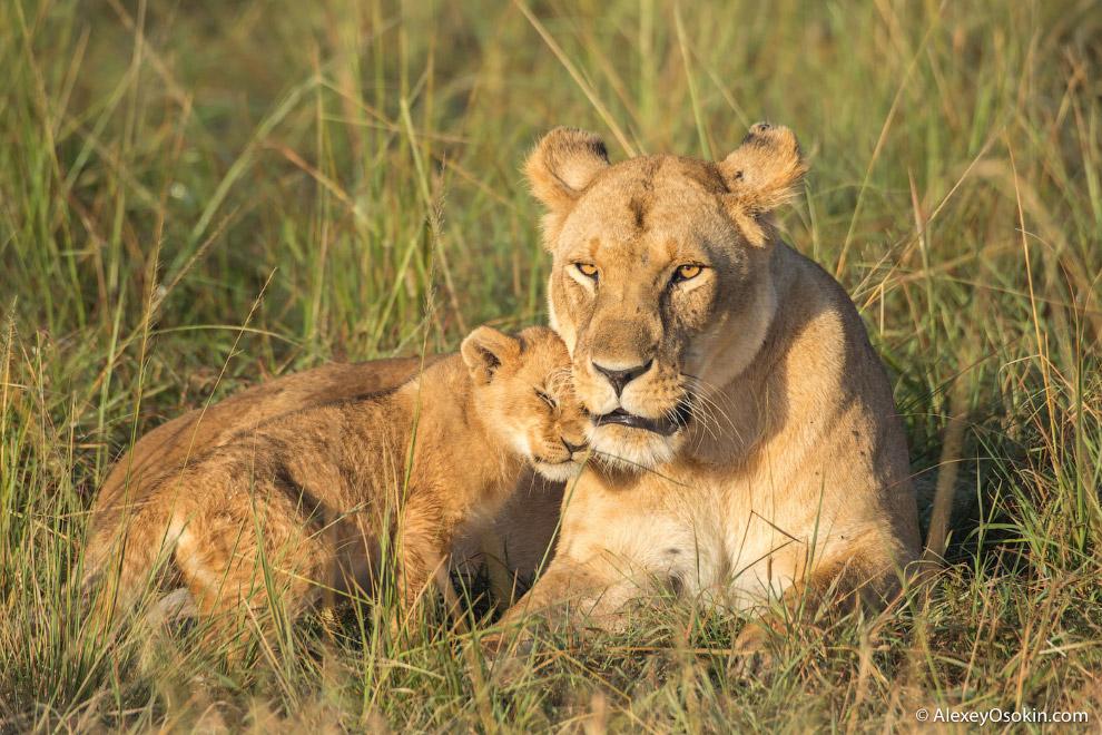 10+ интересных фактов о львах