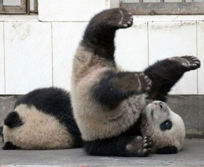 Вот почему панды под угрозой исчезновения