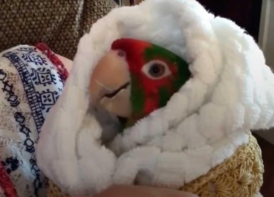 Этот попугай ненавидел людей, пока не встретил ее...