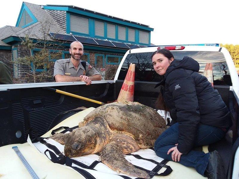 """Жанетт Керр, координатор по внешним коммуникациям организации Massachusetts Audubon Society's Wellfleet Bay Wildlife Sanctuary, сообщила, что подавляющее большинство черепах """"обледенели"""" в заливе Мэн Кейп Код, гибель, животные, сша, холод, черепаха"""