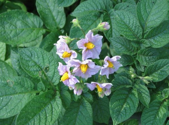 Надо ли обрывать цветы у картофеля или нет?