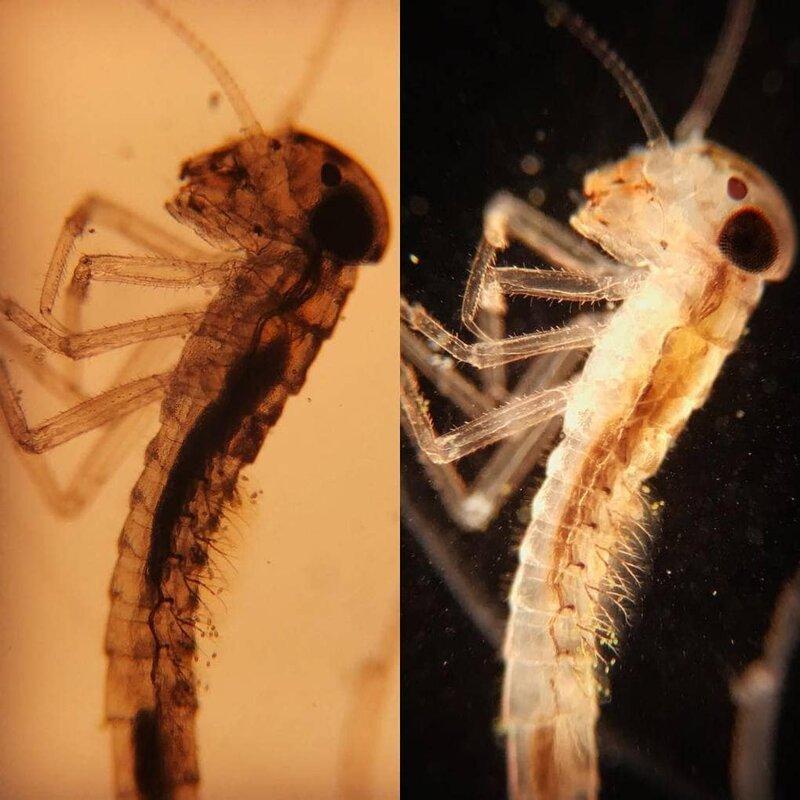 Личинка подёнки, которую можно встретить в обычном пруду в мире, интересно, под микроскопом, познавательно, фото