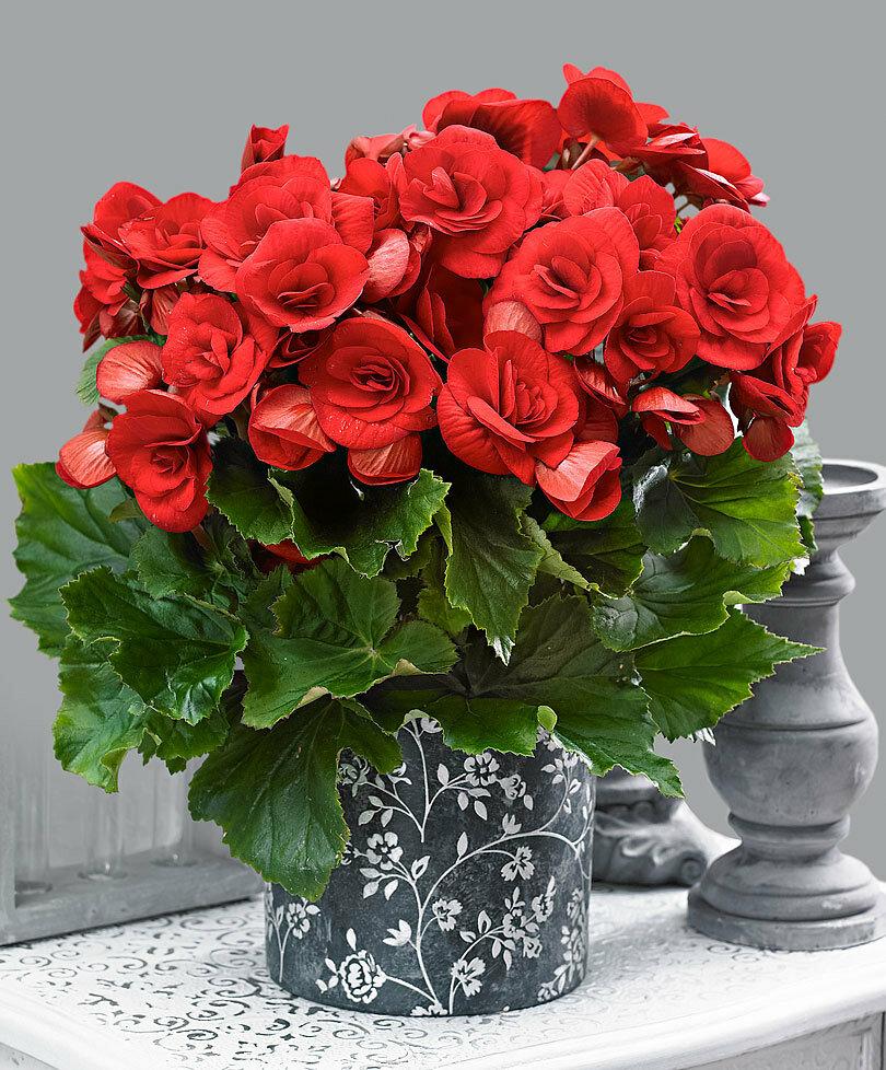 очень красивые комнатные цветы фото и названия цвет